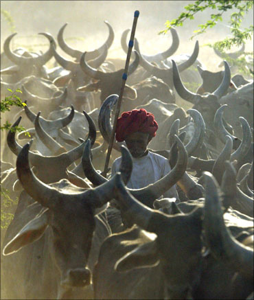A farmer shepherding his cows near Kanpur in Uttar Pradesh.
