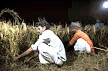 Nova used during harvesting in India.