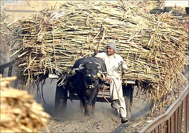 A farmer with sugarcane in Bagphat, Uttar Pradesh.