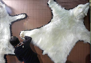 A visitor looks at the fur of a polar bear.