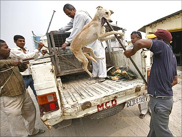 Workers from the Municipal Corporation of Delhi (MCD) capture a stray dog.