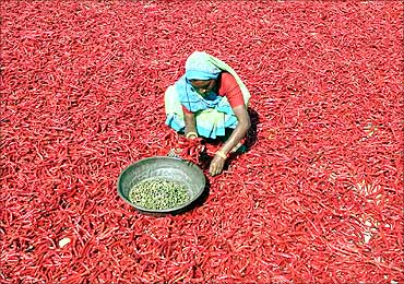 A worker spreads red chilli peppers to dry in Sertha village.