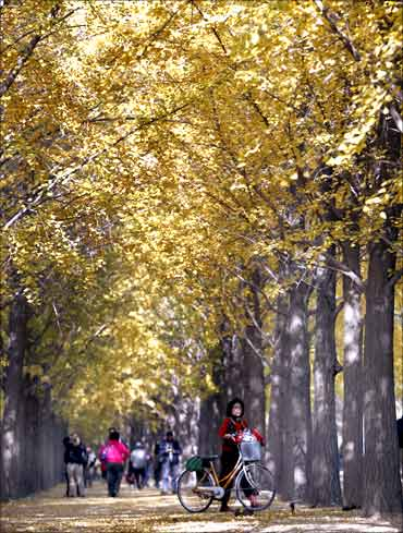 A woman walks a bicycle along ginkgo trees, outside Beijing's Diaoyutai State Guest House.