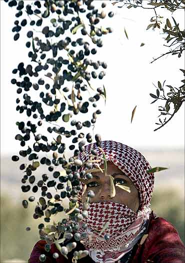 A Palestinian woman throws olives in the air as she works in the village of Deir Al-Hatab.