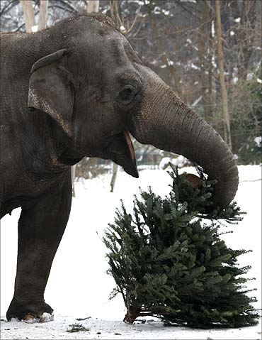 An elephant plays with a former Christmas tree in the zoo in Berlin.