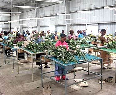 Workers sort the flowers.