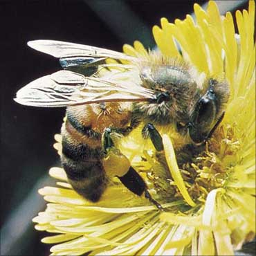European bee: Apis mellifera.