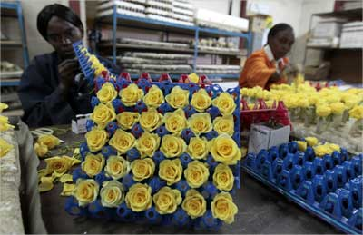 A worker prepares fresh roses for export.