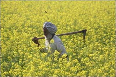 A farmer works in a mustard field.