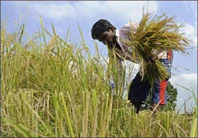 A farmer harvests paddy.