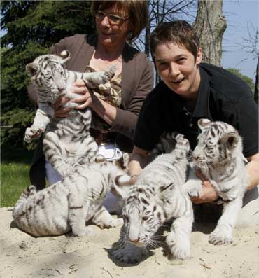 Zookeepers try to hold four Bengal White Tiger cubs in the Zoo Safari Park Stukenbrock in Bielefeld.