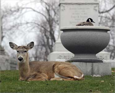 A goose nests in an urn as a deer keeps a watchful eye at Forest Lawn cemetery in Buffalo, New York.