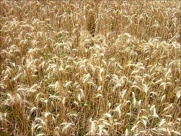 Price of wheat has doubled.