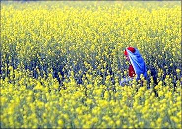A mustard field.