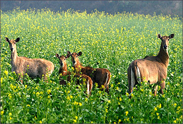 A Nylghai family is seen in a Mustard field in the village of Bhinda Waas, Haryana.