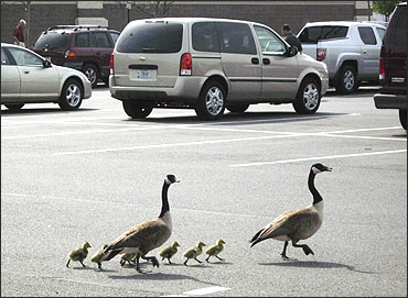 A couple of Canada Geese accompany their newly hatched goslings through a parking lot.