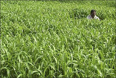 A farmer works in a millet field.