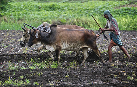 A farmer uses buffaloes to plough his paddy field.