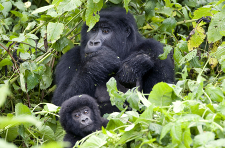 A baby mountain gorilla and its mother feed on the slopes of Mount Mikeno in the Virunga National Park.