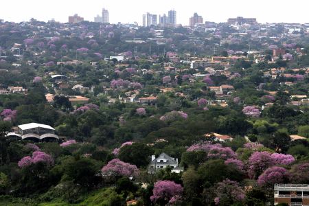 Lapacho trees, the Paraguayan national tree, blossom in Asuncion.