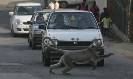 A Langur monkey runs across a road in Shimla.