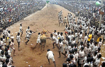 Villagers chase a bull during a bull-taming festival.