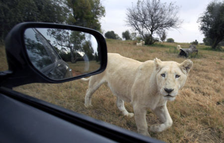 A rare white lion peers at a vehicle at the Lions Park near Johannesburg.