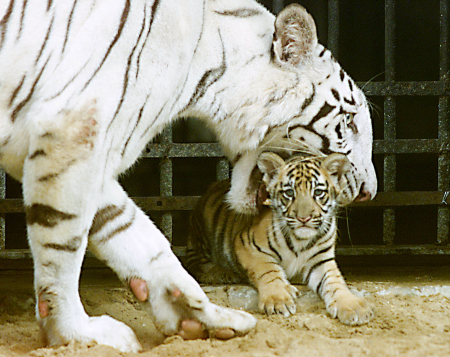 Eleven-year-old tigress Gayetri carries her two-month-old cub in her mouth at the Alipore Zoo in Kolkata.