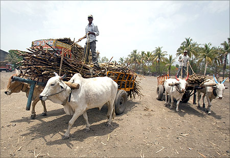 Farmers use bullock carts to deliver harvested sugarcane to a factory in Satara district.