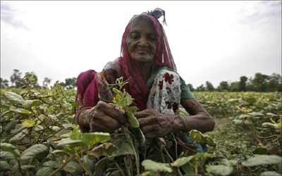 An old woman works in a pulse farm at Bakrol village on the outskirts of Ahmedabad