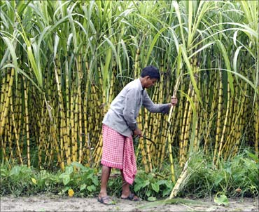 A farmer works inside a sugarcane field at
