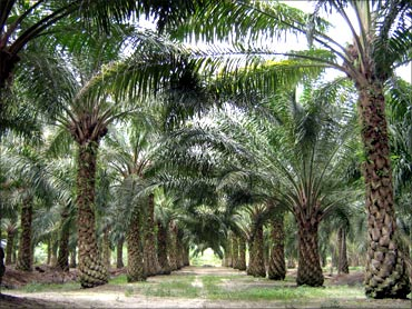 Boost for palm plantation.