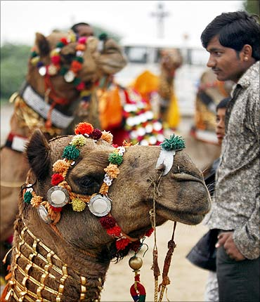 A villager looks at decorated camels of Border Security Force (BSF) during the Rann camel safari.