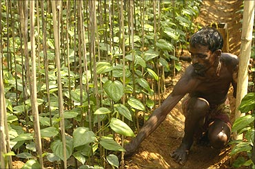 A farmer works in a Paan or betel leaf garden in Sonamura village near Tripura.