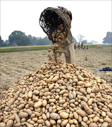 A farmer collects potatoes at a farm in Kadohiyar village.