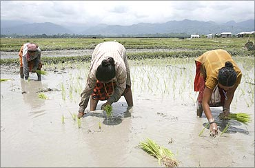 Farmers plant rice seedlings in their field on the outskirts of Siliguri.
