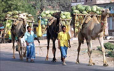 Farmers transport watermelons on their camels to sell in a market near Allahabad.