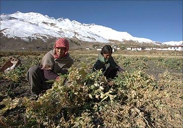 Tribal women work in a peas field in Lossar village, Himachal Pradesh.