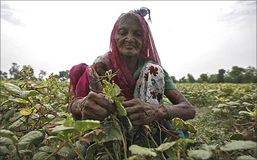A farmer works in a pulse farm at Bakrol village on the outskirts of Ahmedabad.