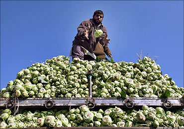 A Kashmiri man loads cabbages onto a truck.