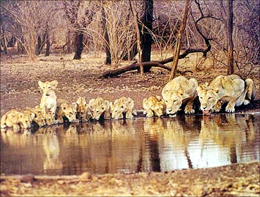 Lions at the Gir National Park in Gujarat.