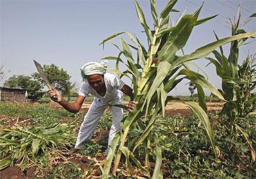 A farmer cuts a stalk of corn in the village of Gove in Satara district.