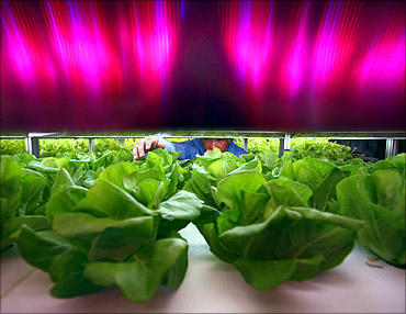 A worker lettuce checks plants growing under artificial light at China's computer-controlled factory