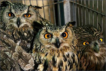 Seized horned owls are displayed by Delhi wildlife department.
