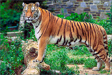 The Royal Bengal Tiger.