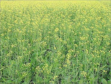 A mustard field in Punjab.