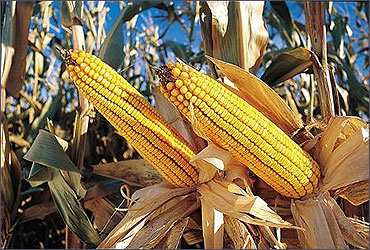 Corn produced by Monsanto.