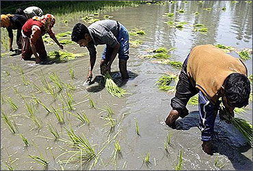 Labourers sowing rice saplings.