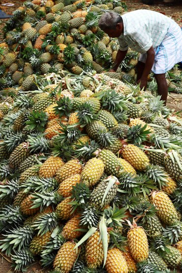 A labourer arranges pineapples at a wholesale pineapple market in Vazhakulam village in the southern Indian state of Kerala.