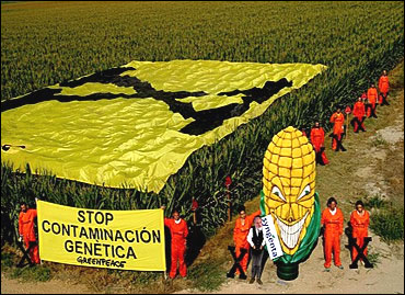 Greenpeace activists protest against GM maize.